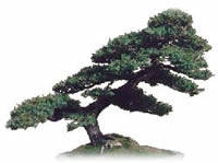 History of Bonsai Tree Picture